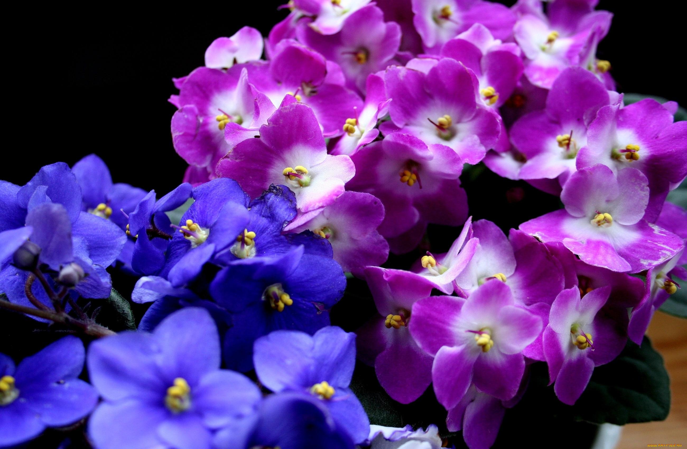 картинки с цветами красивые фиалка девушки